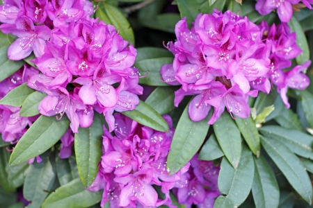 Outdoor in the spring sun is growing a pink fuchsia rhododendron flower bush