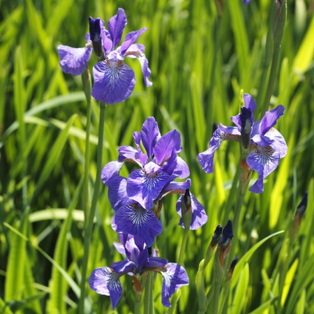 Outdoors in nature wild purple iris flowers are growing in the spring sunshine