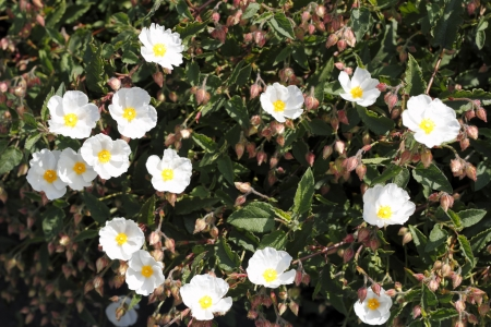 five petals: Small white and yellow rock rose flowers growing outside in nature