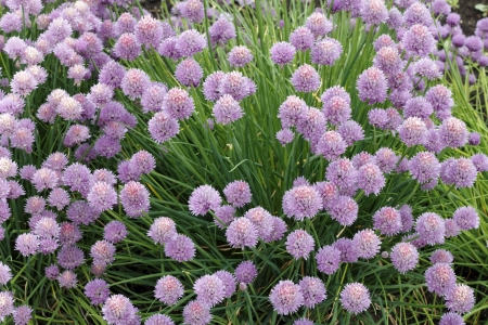 Beautiful bunch of purple pink blossom chives growing outdoors in the day