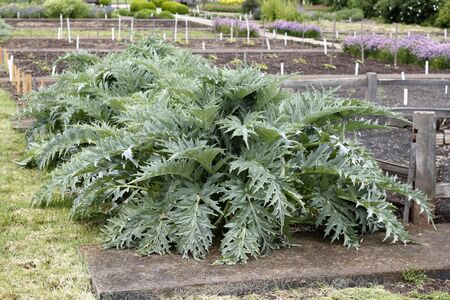thistle plant: Unusually large green gray leaves of very old artichoke plants growing in an outdoor garden