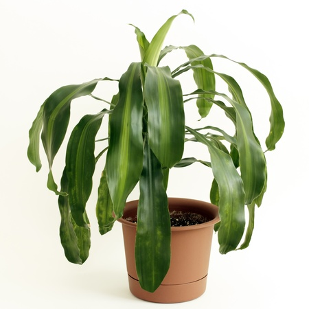 Dracaena fragrans or cornstalk Dracaena house plant in a brown plastic pot in front of a white background