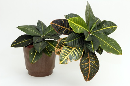 houseplant: A tropical Croton houseplant with variegated leaves of red yellow and green makes a pretty addition to the household   Stock Photo