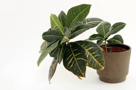houseplant: Tropical croton houseplant on the right directed to the left