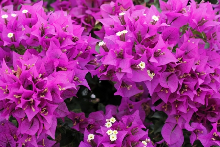 beautiful bright fuchsia bougainvillea photo