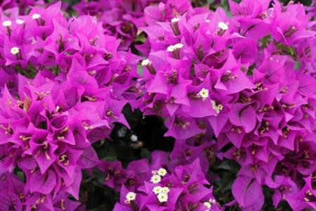 beautiful bright fuchsia bougainvillea photo