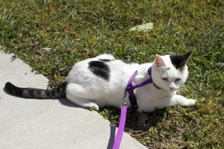 Adult female feline wearing a purple harness attached to a leash laying in the lawn grass on a sunny day