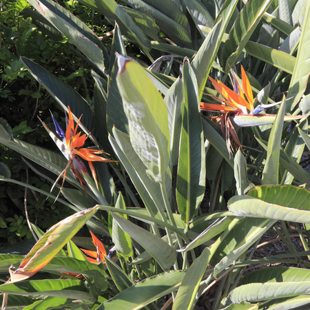 concave: Closeup of blooming bird of paradise or crane flowers, botanical name of strelitzia reginae, seen outdoors in south east Florida on a very sunny day