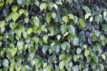 Dark and medium green oblong leaves of an evergreen ficus shrub seen close up on a sunny day outside in Florida  Reklamní fotografie