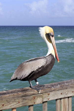 tagged: Close up of a large brown gray black white yellow red orange adult pelican seen from the side standing on a pier railing in front of green blue waters of the Atlantic ocean in Pompano Beach, Florida  Stock Photo