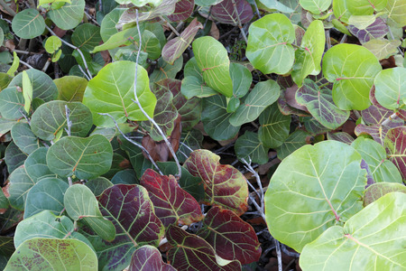 Tropical red green yellow sea grape shrub seen growing outside in nature during the day in Florida  Фото со стока