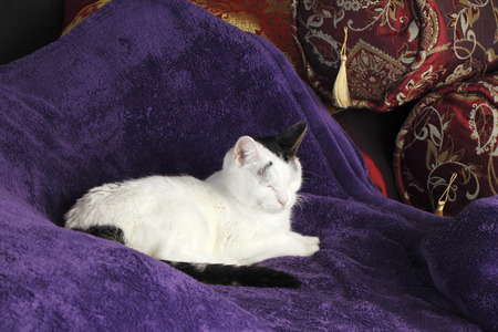 Adult female white and black short hair feline sleeping on a soft purple blanket with pillows during the day on a bedrooms bed. A cute cat sleeping on a comfortable bed.