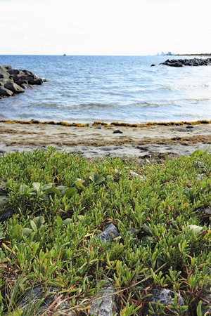edible plant: Beautiful low to the ground view of the Atlantic Ocean coast in Dania Beach, Florida with wild, thick, grass-like edible sea purslane plant growing in the foreground.
