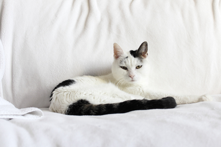 looking at viewer: Pretty kitty cat looking at viewer while relaxing laying down on a white blanket near a white towel on a couch. Cute feline with black and white fur relaxed on a couch.