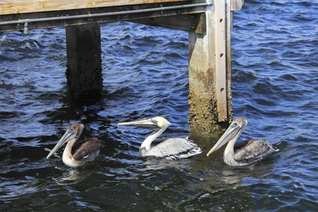 pilings: Three pelicans swimming in the Atlantic Ocean near a wooden dock on a sunny day. A few large water birds floating in the water near the pilings of a dock on a bright day.