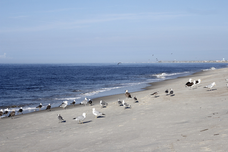 Many wild seagull birds on the beach in Caswell Beach, North Carolina on a sunny day. Seagull birds on the Atlantic Ocean coast shore in Caswell Beach, North Carolina. Stock Photo