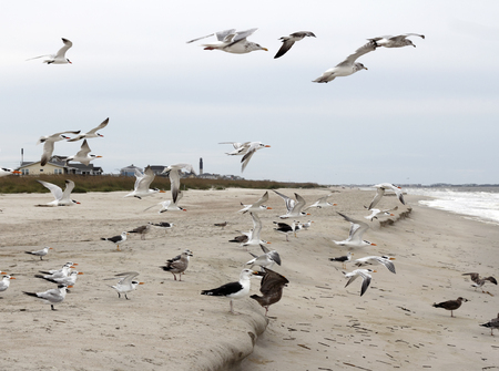 Many seagulls on Caswell Beach, North Carolina in flight, walking or eating on the sand. Wild seagull birds flying and walking on Caswell Beach. Stock Photo
