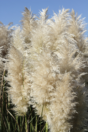 Cortaderia Selloana or Pampas Grass with a blue sky in the background on a sunny day. Pampas Grass stems and plumes seen close up in front of a bright blue sky.