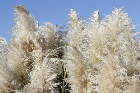 Tall Pampas Grass beige foliage plumes on a sunny blue sky day. Background of fluffy and beautiful beige pampas grass plants growing under a bright, blue sky day.