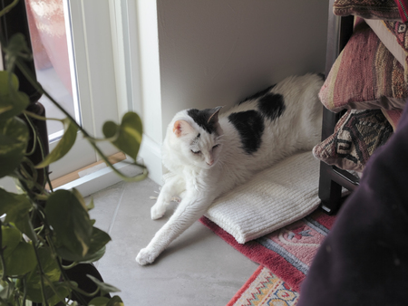 White short hair cat with black markings resting with eyes open on a towel in a living room corner floor. Feline relaxing in a living room corner near a window.