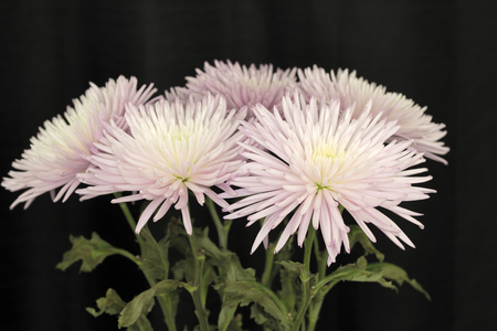 Tops of violet white chrysanthemum flowers with green leaves in front of a black curtain. Closeup of the top half of white and violet chrysanthemum flowers.