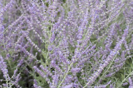 Backdrop of beautiful and fragrant lavandula herb flora plants growing outside. Close-up of violet purple lavender flowers with pale green leaves background.