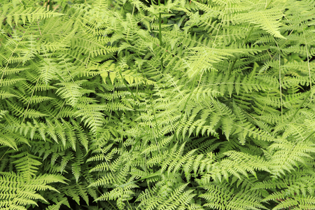 Fern leaves background outdoors natural landscape Wild growing fern leaves nature background closeup Stock Photo