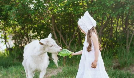A shepherd girl in a white dress and bonnet feeds a goat with cabbage leaves. Child feeding goat in spring field. 스톡 콘텐츠