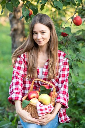 Beautiful girl picking ripe organic apples in basket in orchard or on farm on fall day. Harvest Concept. Garden. Woman with basket full of ripe apples Stock Photo