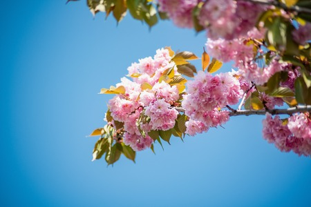 branch of cherry blossoms. Beautiful Pink Flowers. Sakura on blue sky background. selective focus. Copy space Stock Photo