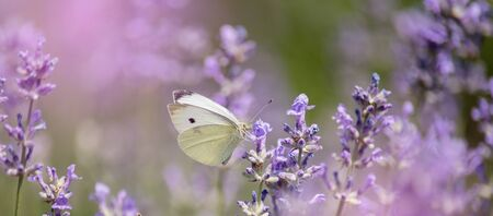 Lavender flowers in field. Pollination with butterfly and lavender with sunshine, sunny lavender. Soft focus, blurred background.
