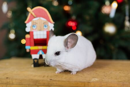 Happy Chinese New Year 2020 year of rat. Portrait of cute white chinchilla on the background of the Christmas tree in the lights, symbol of new year