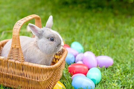 Easter bunny and Easter eggs on spring green grass. Cute rabbit. Easter egg hunt with pet bunny. Copy space for text