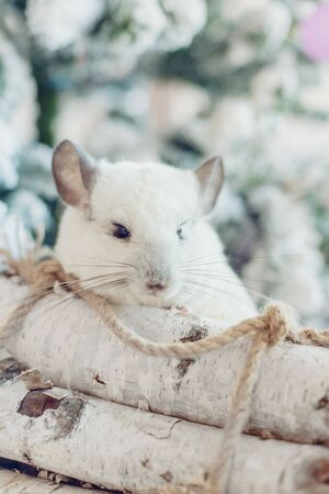 Happy Chinese New Year 2020 year of rat. Portrait of cute white chinchilla on the background of the Christmas tree in the lights, symbol of new year Stock Photo