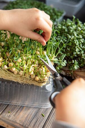 microgreen Foliage Background. pea and Arugula leaf. sprout vegetables germinated from high quality organic plant seed. microgreens growing indoor. selective focus. child and green