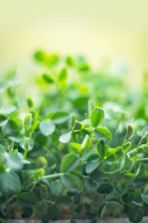 microgreen Foliage Background. pea leaf. sprout vegetables germinated from high quality organic plant seed on linen mat. microgreens growing indoor. selective focus. copyspace. defocused background Banque d'images