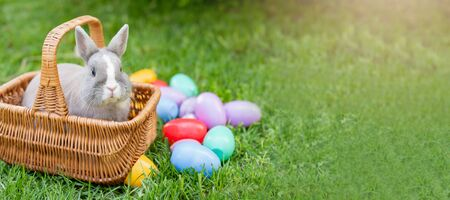 Easter bunny on spring green grass. Cute rabbit. Easter egg hunt with pet bunny. banner. Happy Easter greeting card with copyspace. Sunbeams