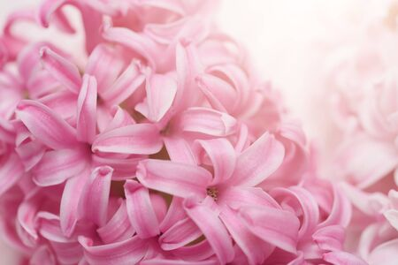 Macro closeup view of Hyacinth Pink Spring flowers on light pink background. perfume of blooming hyacinths symbol of early spring. Texture. concept of holiday, celebration, women day. Mother day 版權商用圖片
