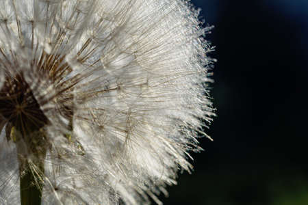 dandelion at black background. Freedom to Wish. Dandelion silhouette fluffy flower. Seed macro closeup. Soft focus. Goodbye Summer. Hope and dreaming concept. Fragility. Springtime.
