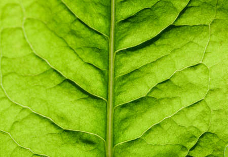 Extreme close up texture of leaf veins. backlight fresh green Leaf. morning sunlight with copy space as background natural green plants landscape, ecology, fresh wallpaper concept. macro