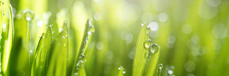 Wet spring green grass backround with dew lawn natural. beautiful water drop sparkle in sun on leaf in sunlight, image of purity and freshness of nature, copy space. macro. shallow DOF. panorama Standard-Bild