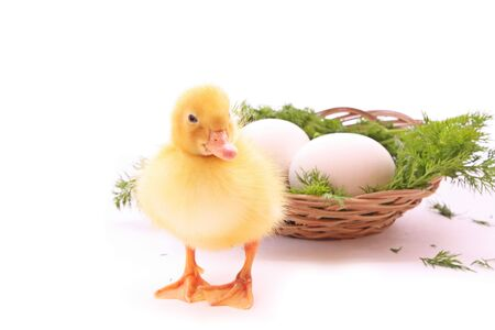 Duckling with celery and basket isolated on white photo