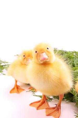 Two young ducks photo