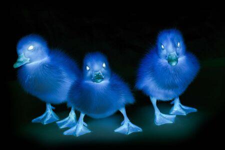 Three terrible ducks photo