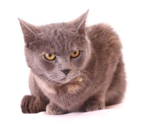 Cat portrait isolated on white photo