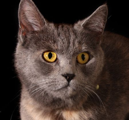 Cat portrait on black background photo