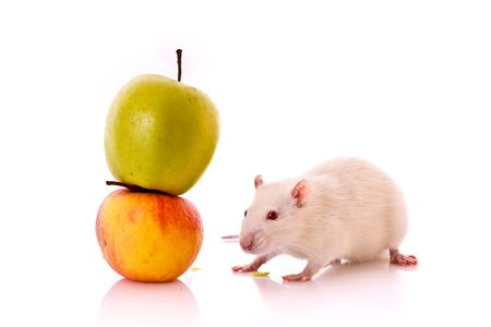 White Rat and apple isolated on white photo