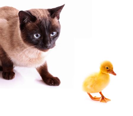 domestic duck: Cat hunting to duckling isolated on white