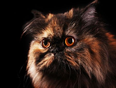 Persian cat in turtle colors on black background photo