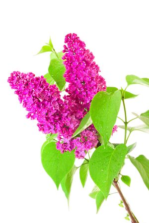 Lilac and leaves on white background photo